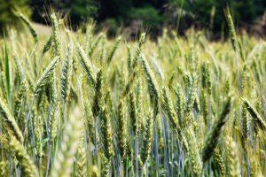 wheat-852241_1920